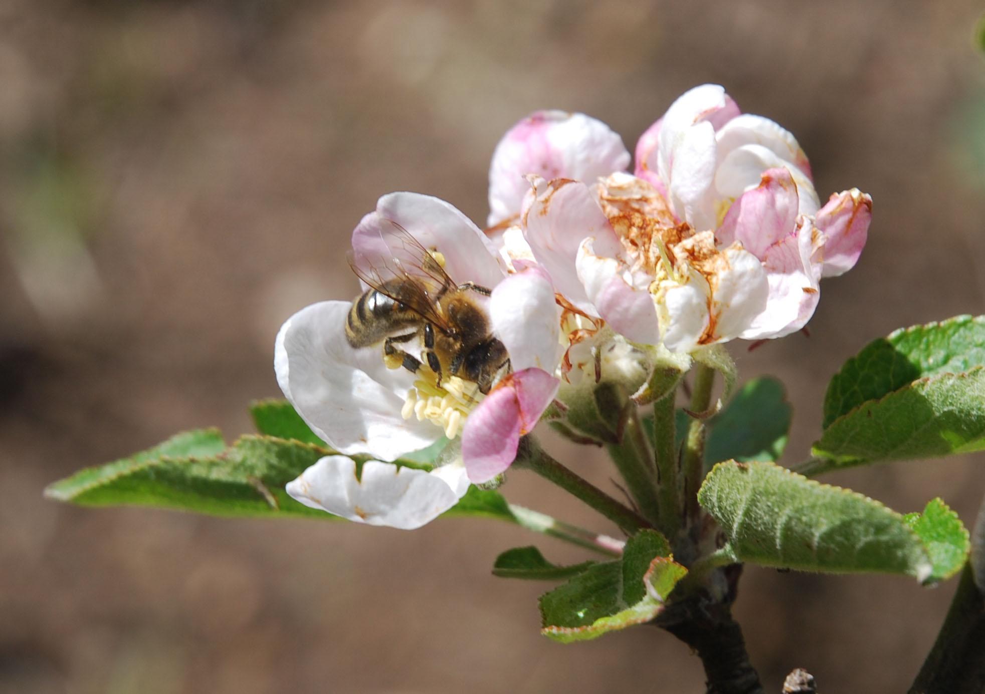 Photo d'abeille butinant une fleur de pommier