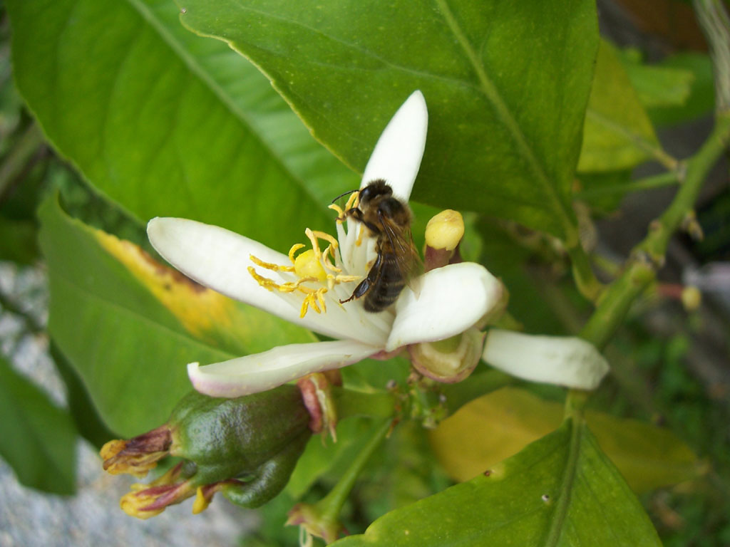 Photo d'abeille butinant sur fleur de citronnier