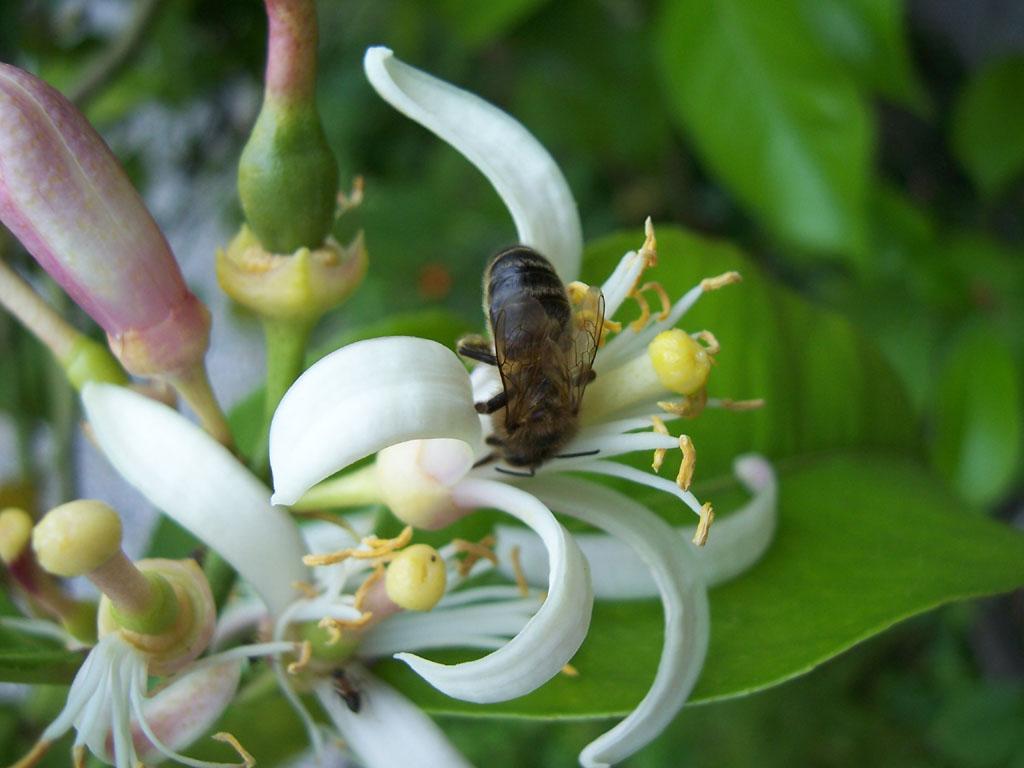 Photo d'abeille sur fleur de citronnier