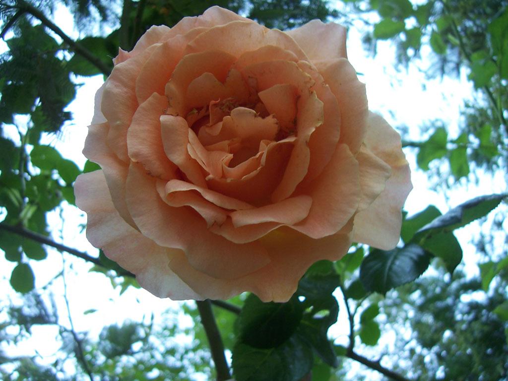 Pour la fête de mères : photo de rose