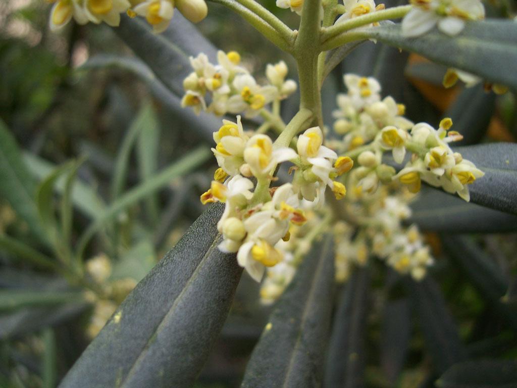 Photo de fleurs d'olivier