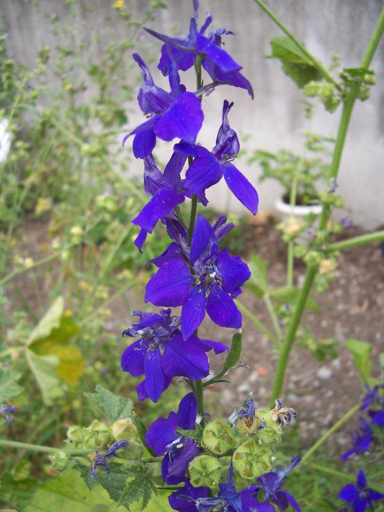 Photo de fleur pied d'alouette