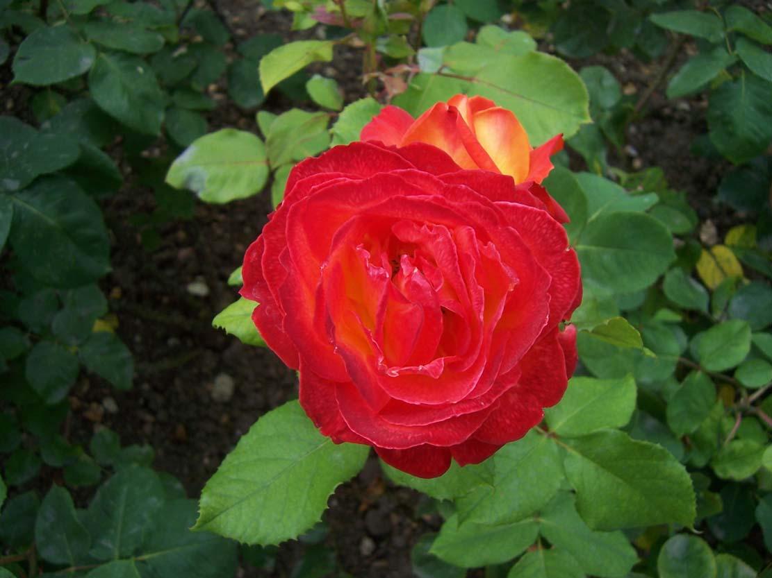 Photo de roses Chacok