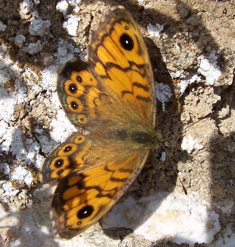 Photo de papillon : la Mégère (Lasiommata megera femelle)