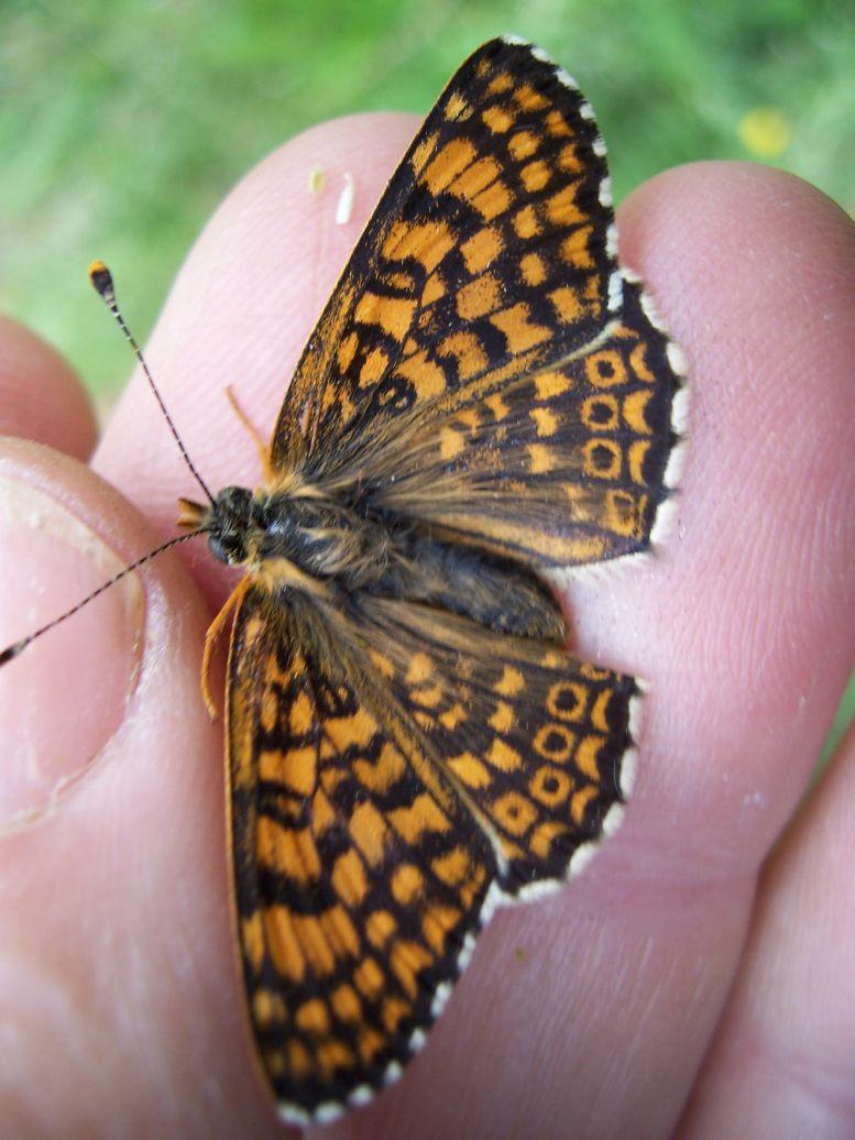 Photo de papillon : la Mélitée du plantain (Melitaea cinxia)