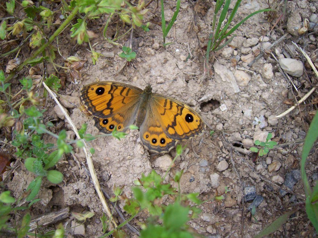 Photo de papillon : Lasiommata megera femelle La Mégère