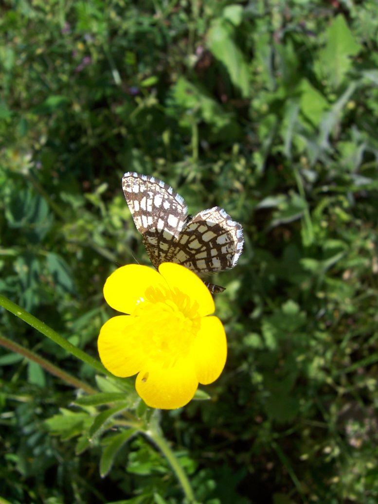 Photo de papillon Géomètre à barreaux Chiasma clathrata