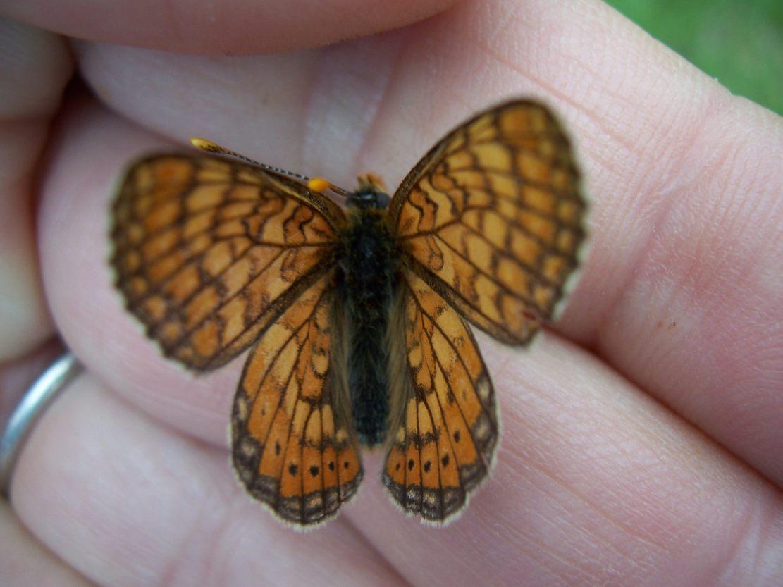 Photo de papillon : Damier de la succise (Euphydryas aurinia)