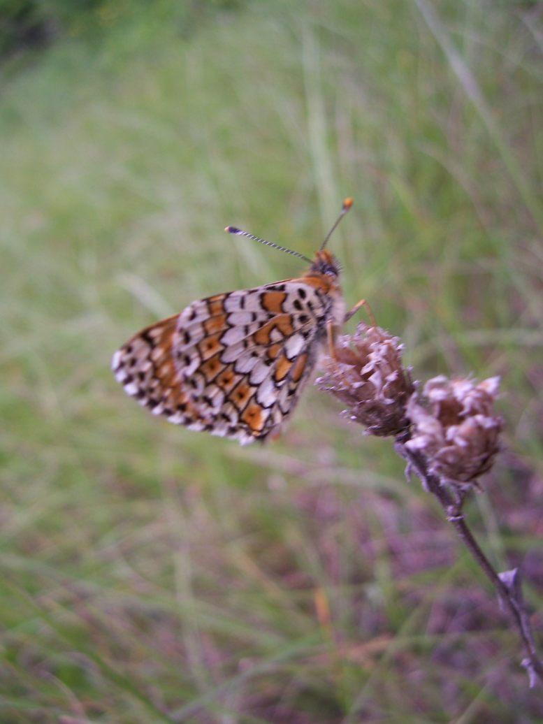 Photo de papillon : Mélitée orangée (Didymaeformia didyma)