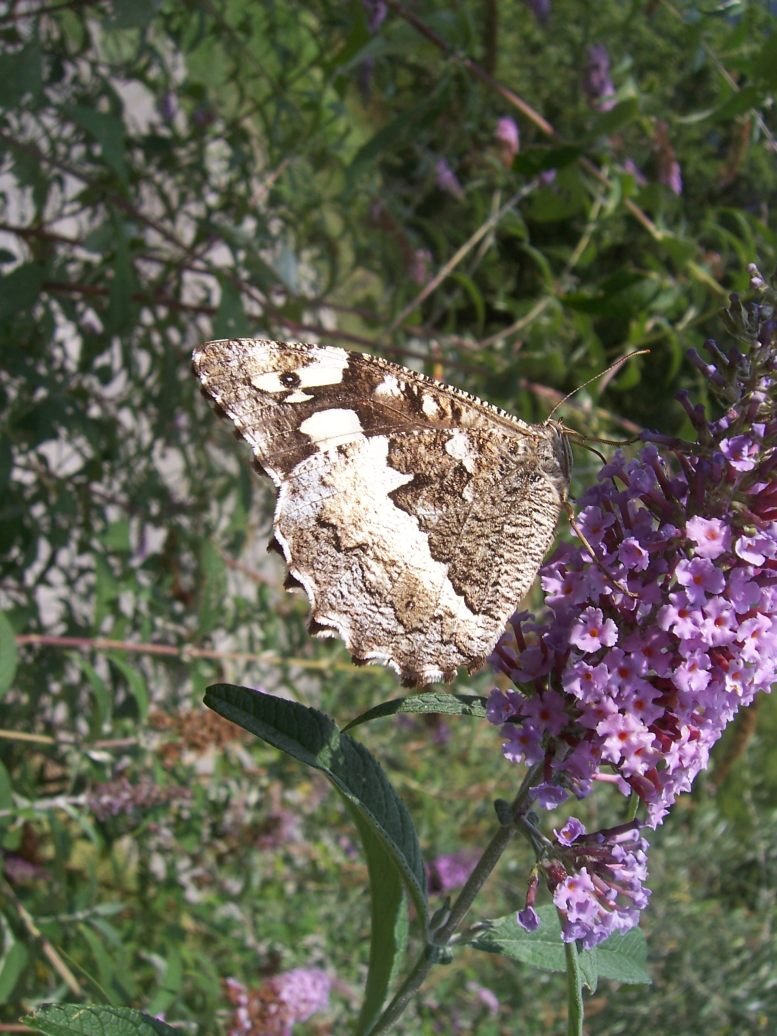 Photo de papillon Silène