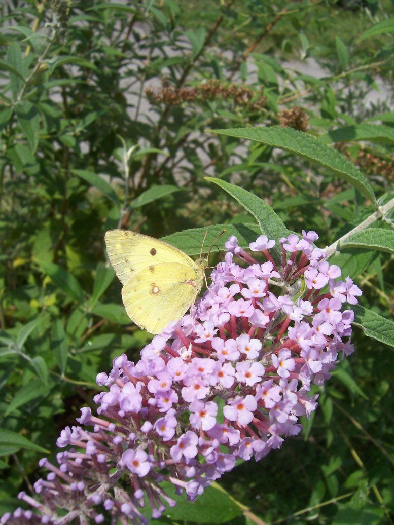 Photo de papillon Le Souci Colias alfacariensis sur fleurs de Buddleïa
