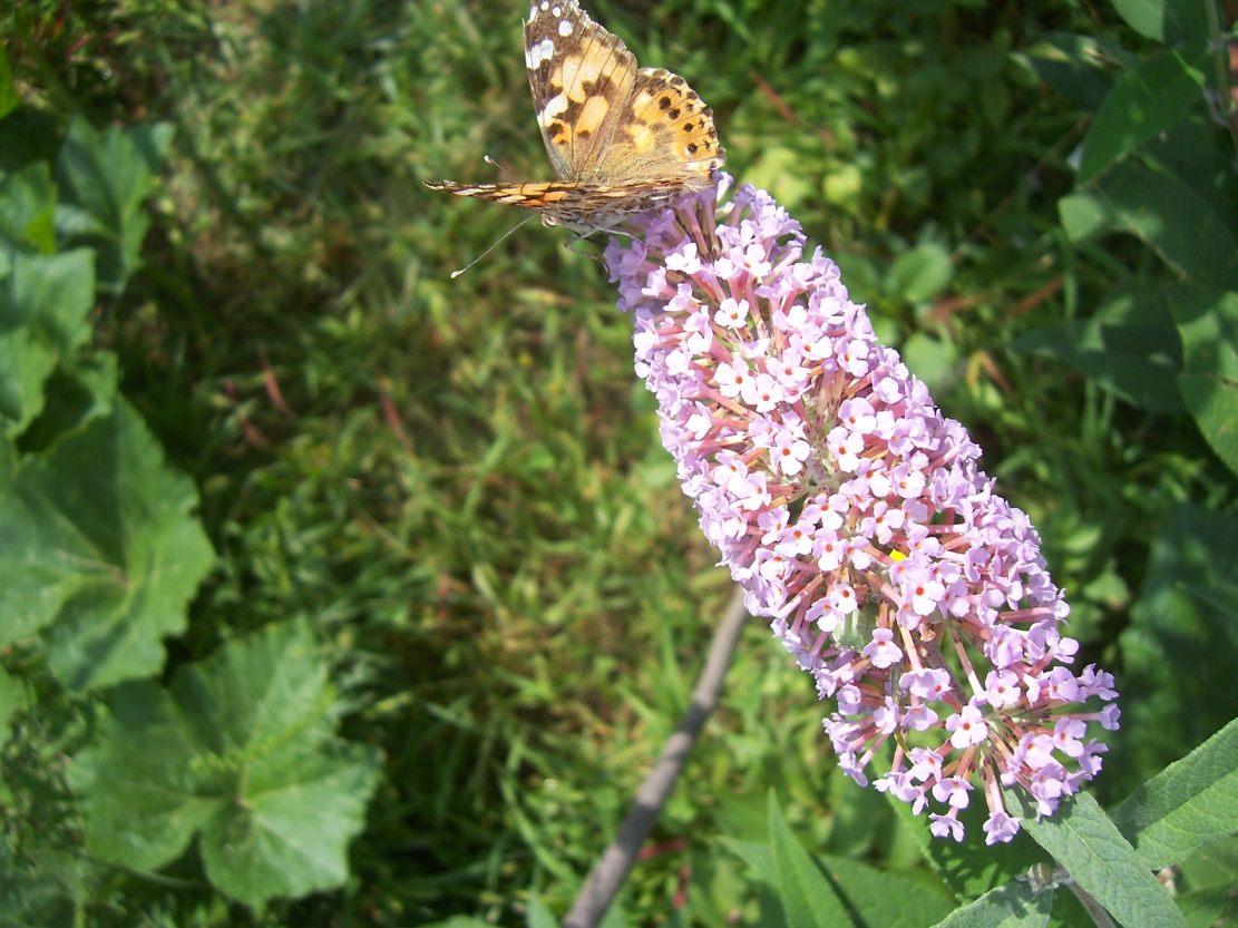Photo de papillon Vanesse des Chardons ou la Belle-Dame Cynthia cardui