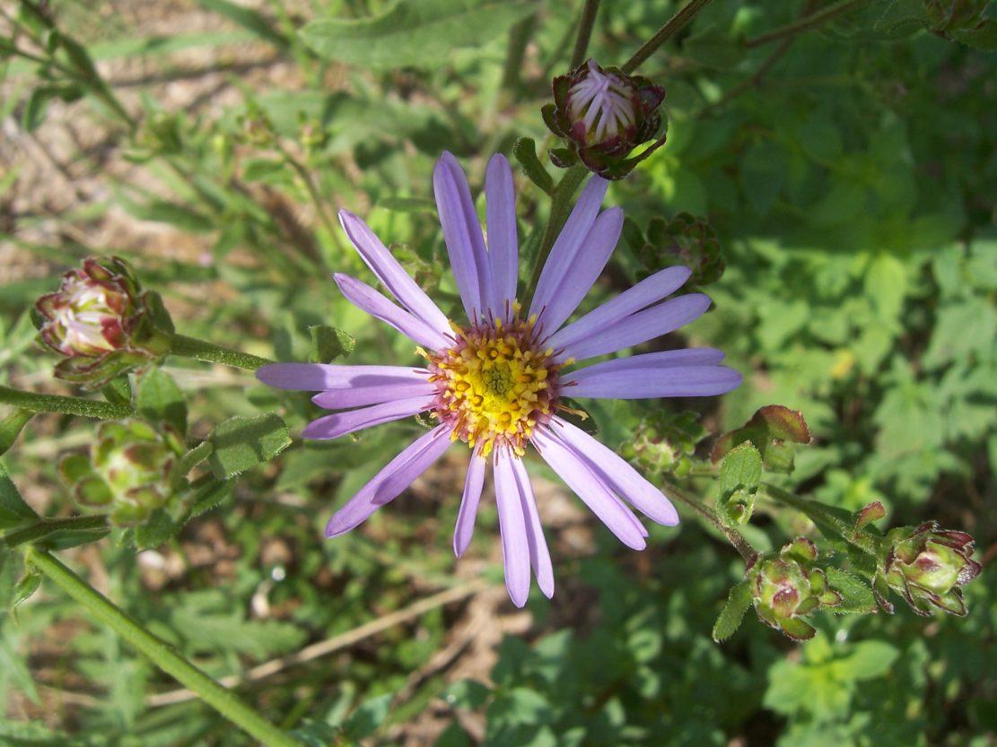 Photo de fleur Aster amelle
