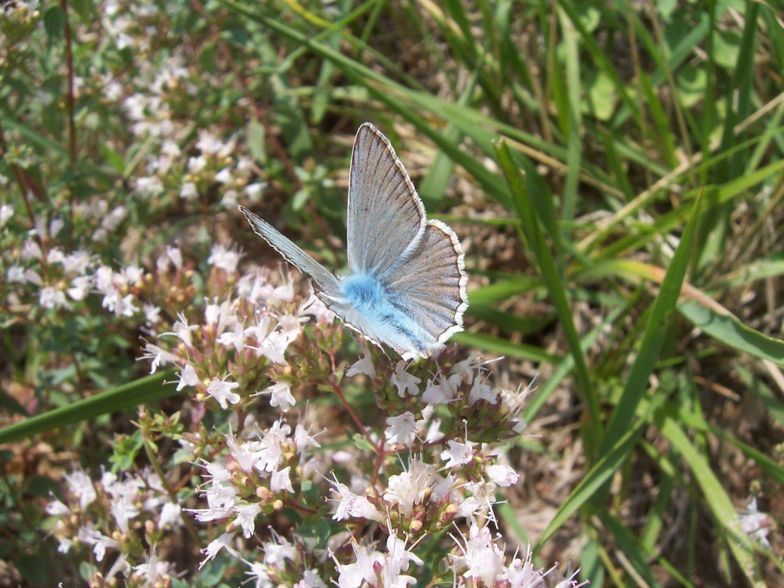 Photo de papillon Azuré du baguenaudier