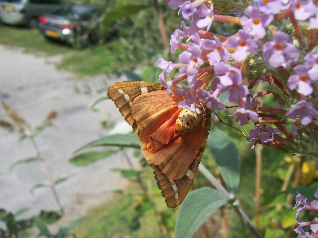 Photo de papillon écaille chinée vue de dessous