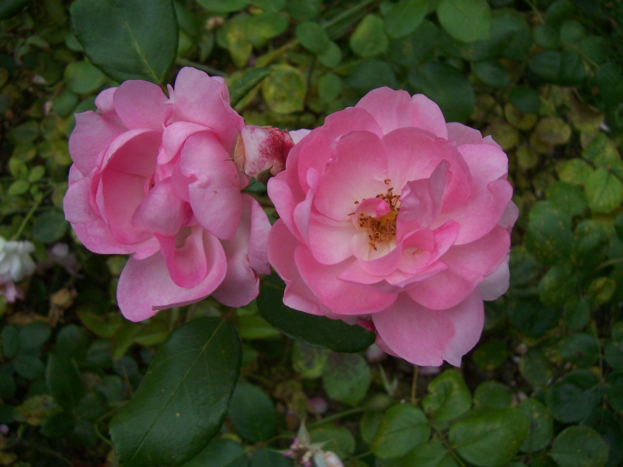 Photo de roses Centenaire de Lourdes roses