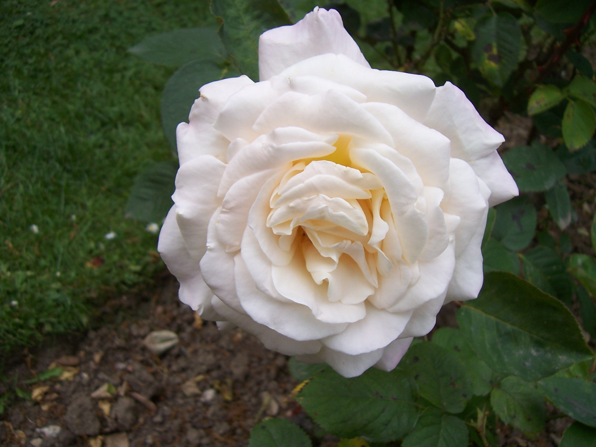 Photos de roses : rose Jardin de Bagatelle