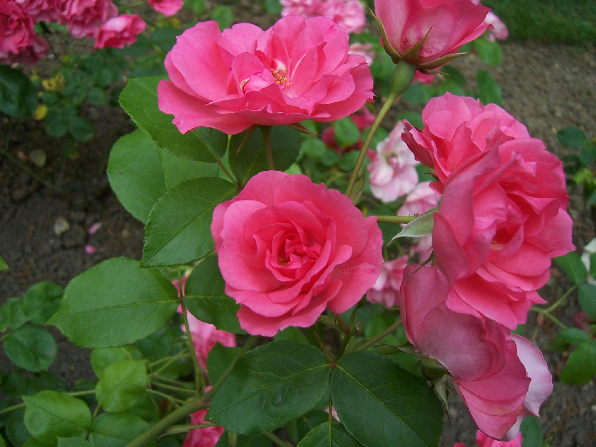 Photos de roses : roses Rosy la Sevillana
