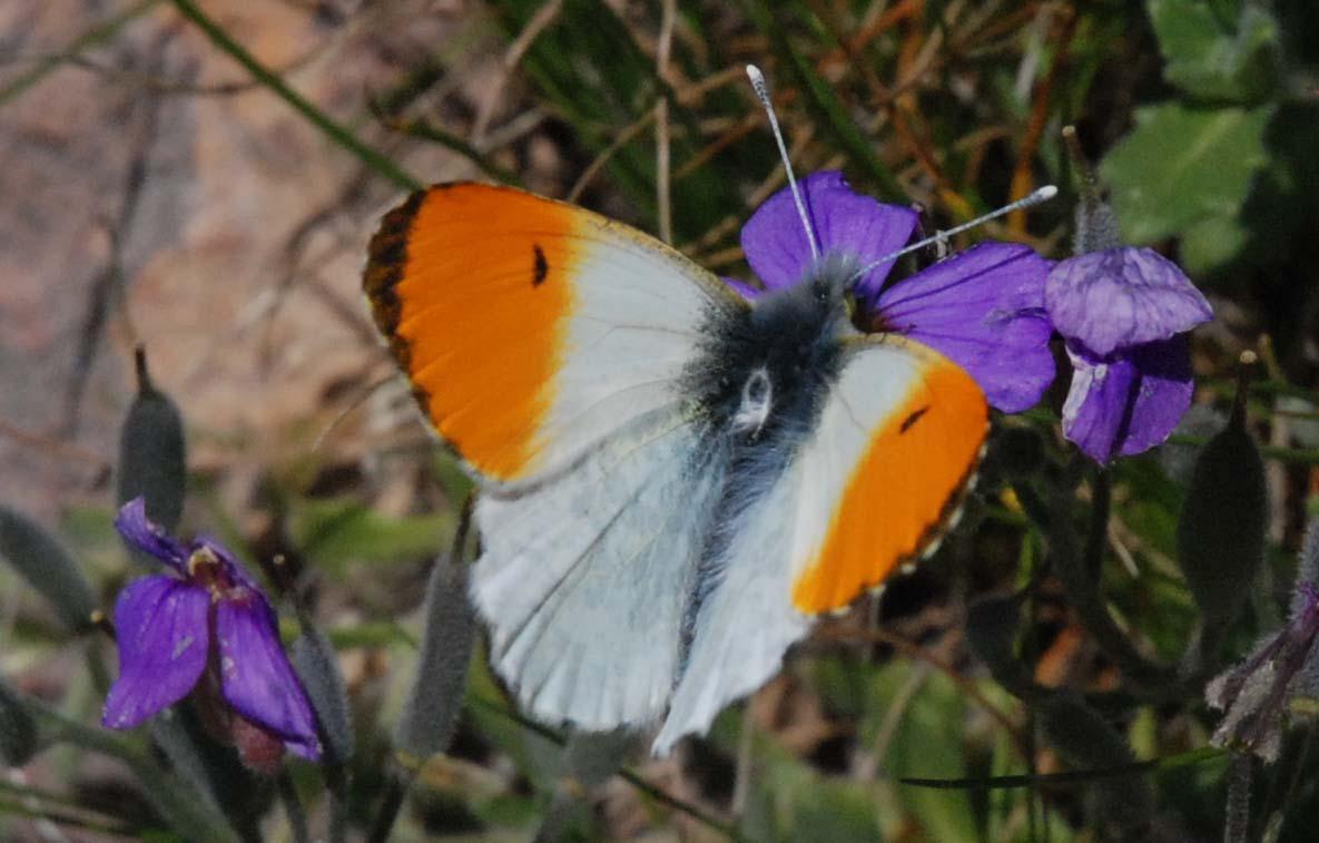 Photo de papillon l'Aurore mâle avril Roquebillière