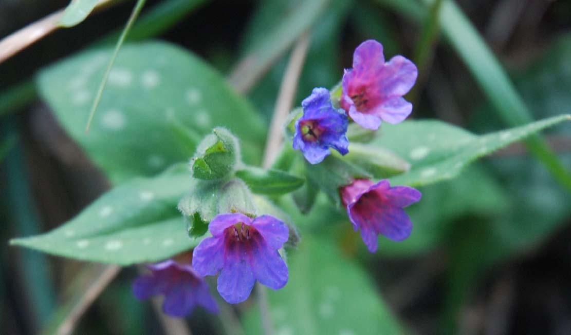 Photo de fleur Pulmonaire