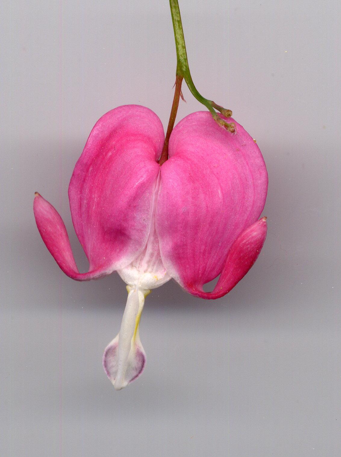 Fleur : Coeur de Marie