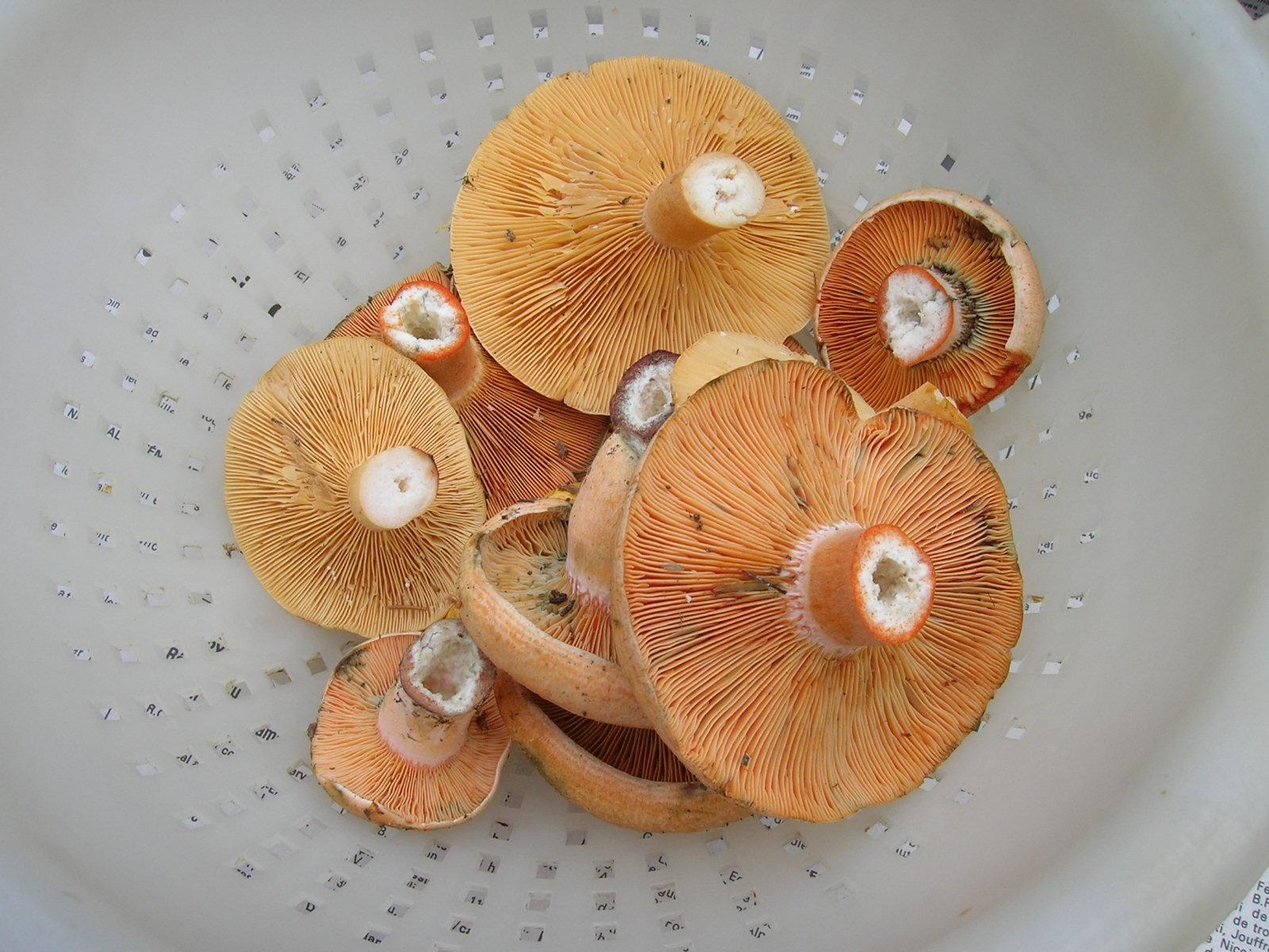 Champignons : récolte de lactaires délicieux - lactarius deliciosus
