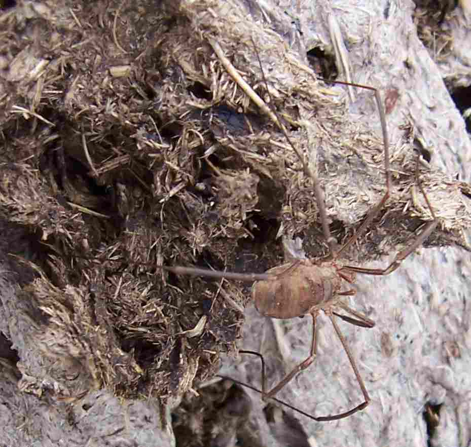Arachnide : opilion, faucheux