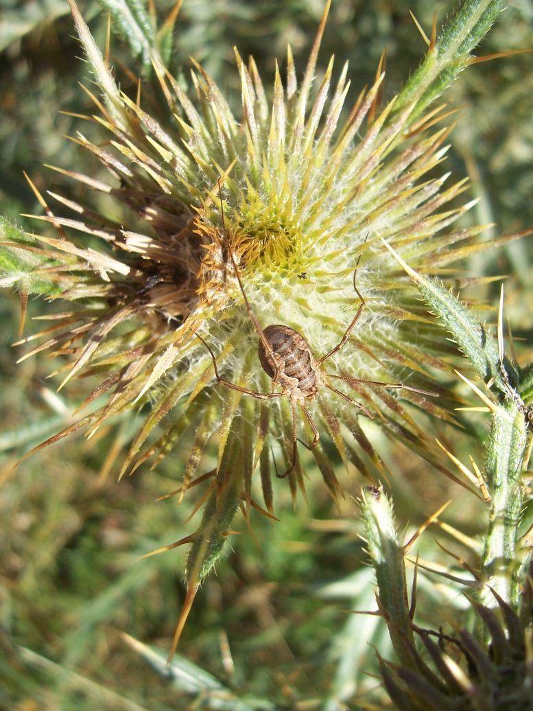 Arachnide : araignée sur fleur de chardon