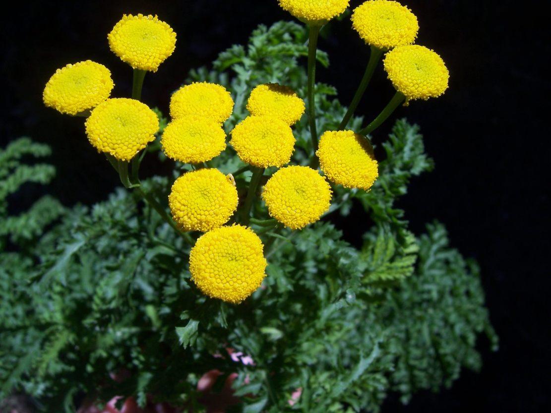 Armoise génépi  - artemisia genipi - Photo de fleur
