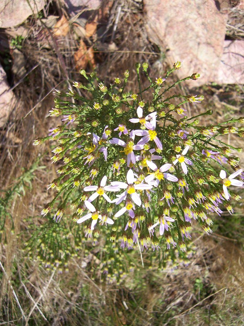 Aster à feuilles de sedum  - aster sedifolius - Photo de fleur