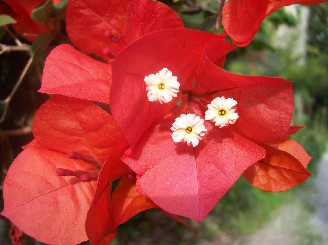 Bougainvillée ou bougainvillier- Photo de fleur du jardin