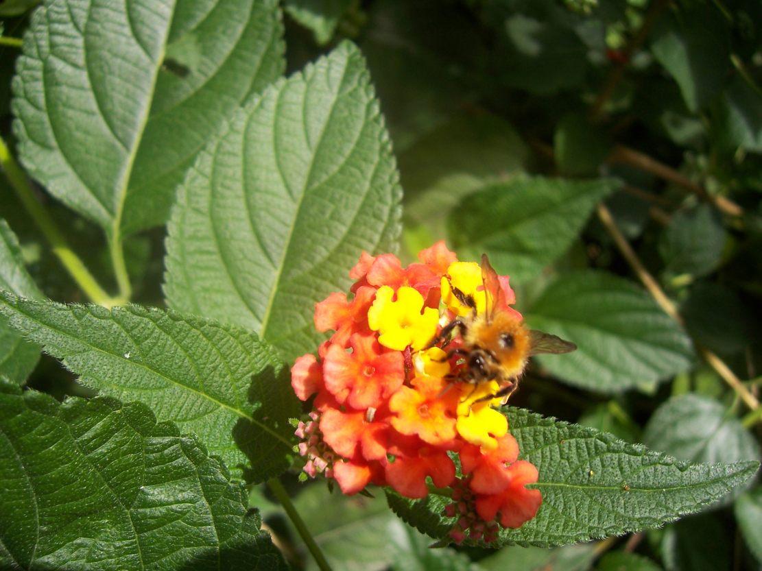 Insecte hyménoptère : Bourdon butinant sur une fleur de lantana