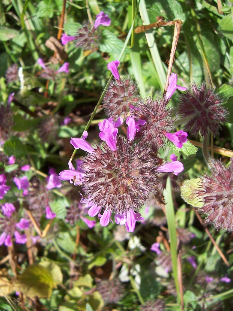 Calament clinopode ou sarriette commune - clinopodium vulgare - Photo de fleur