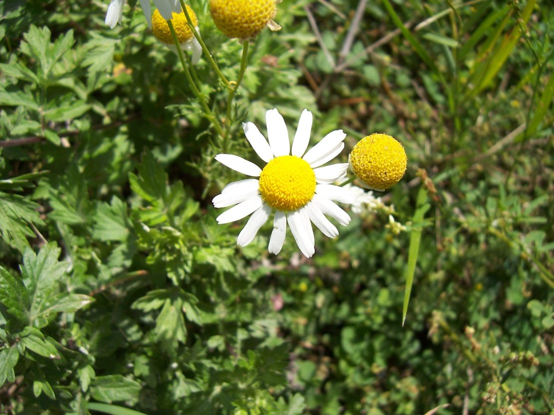 Camomille inodore - matricaria inodora - Photo de fleur