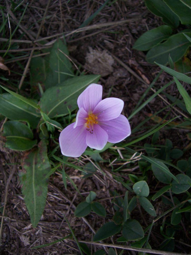 Fleur sauvage : Colchique d'automne - colchicus automnale