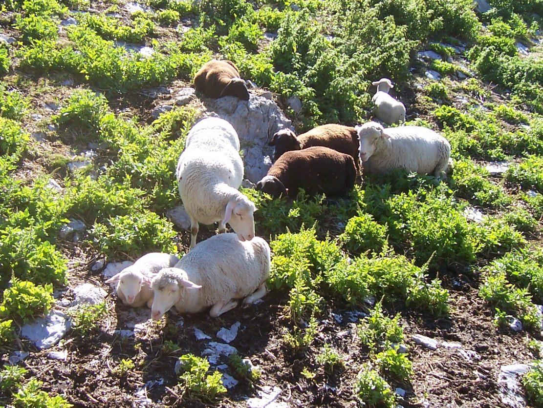 Elevage en montagne - Moutons noirs et blancs