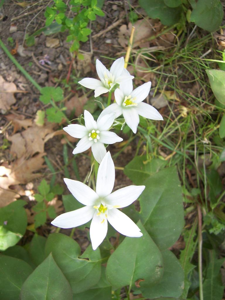 Fleurs : Ornithogale en ombelle (Dame d'onze heure)