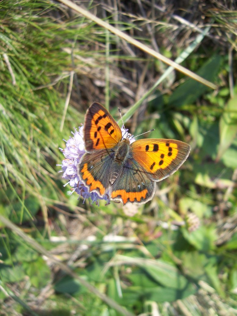 Photo de papillon : cuivré commun - lycaena phlaeas