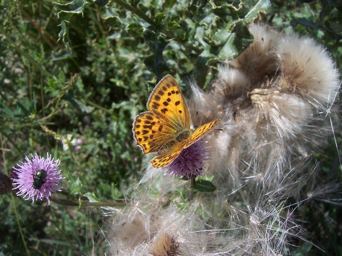 Photo de papillon : le cuivré de la verge d'or - heodes virgaureae - sur cirse des pres