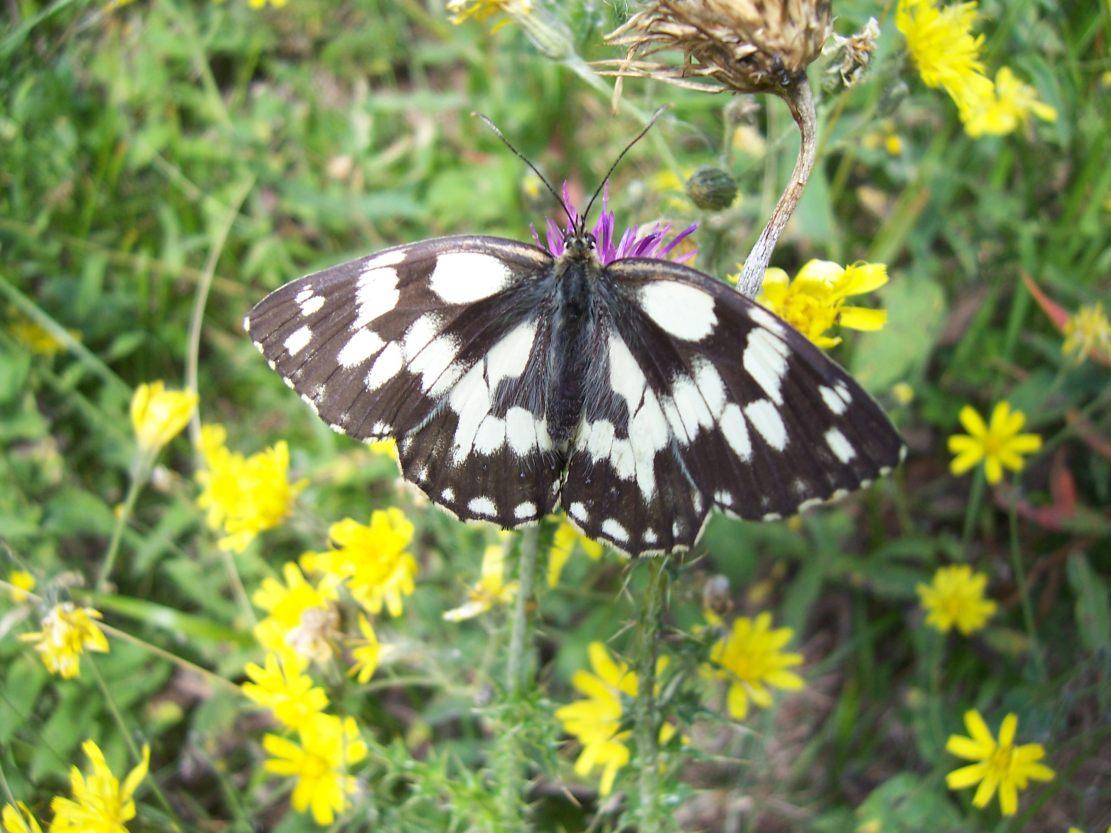 Photo de papillon : le demi-deuil - melanargia galathea