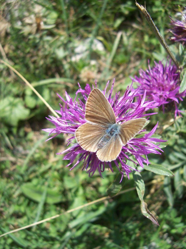 Photo de papillon : le sablé provençal - polyommatus ripartii - sur centaurée