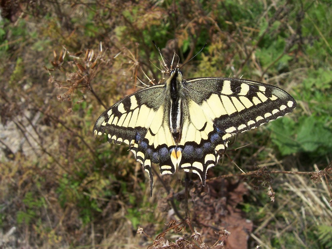 Photo de Machaon (Papilio machaon)