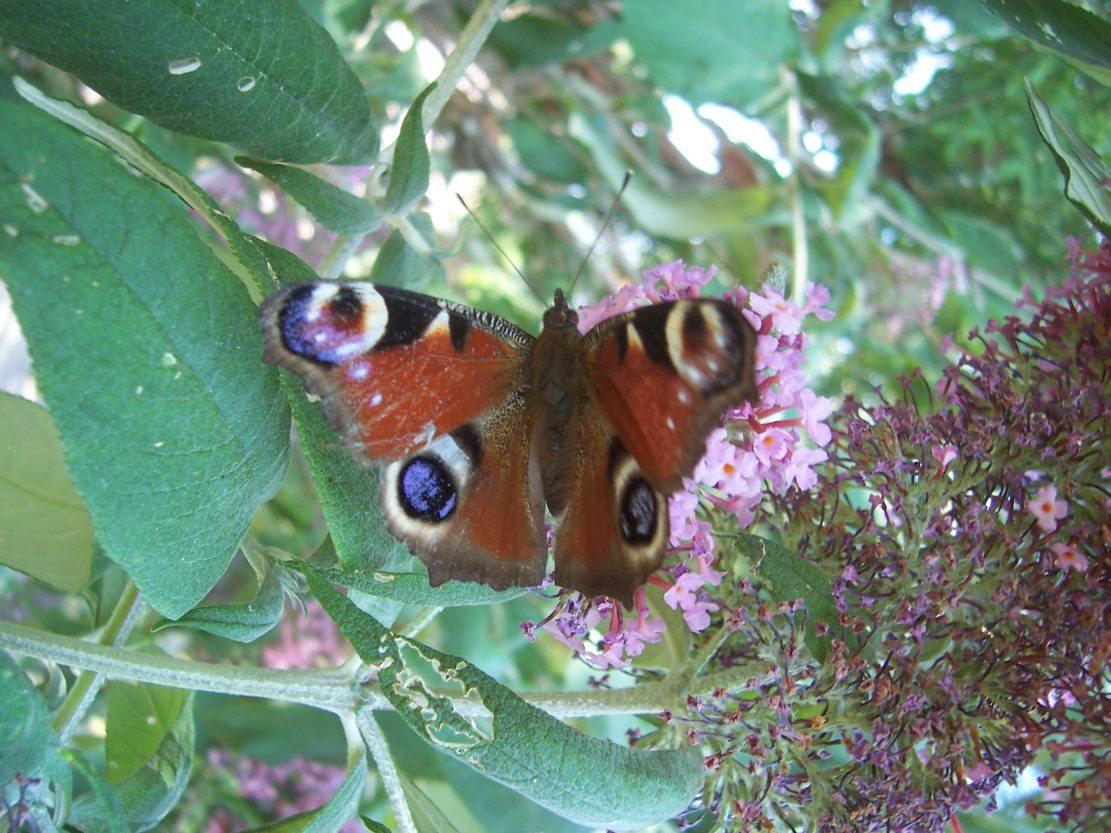 Photo de papillon : le paon du jour - inacchis io sur fleur de buddleia