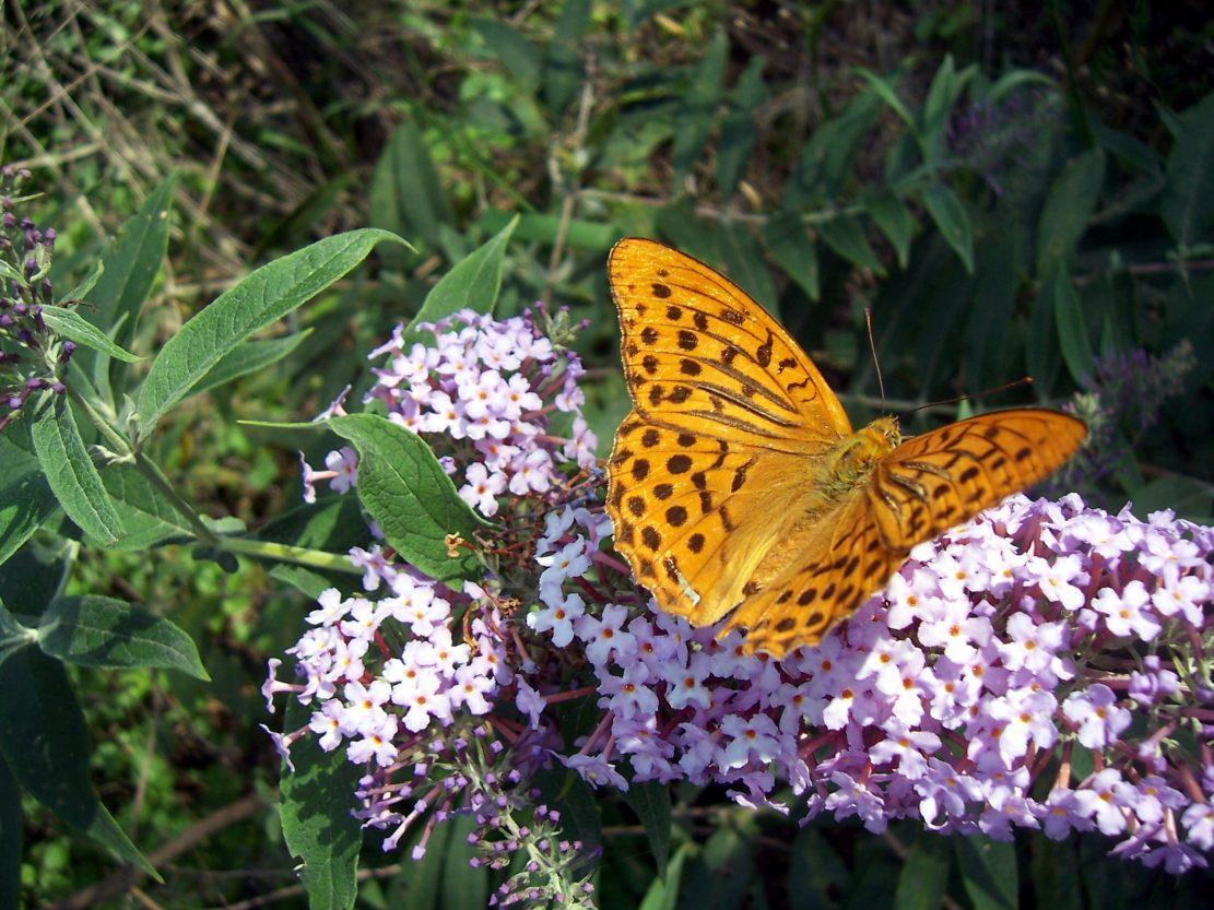 Photo de papillon : tabac d'Espagne - argynnis paphia - sur fleur de buddleia
