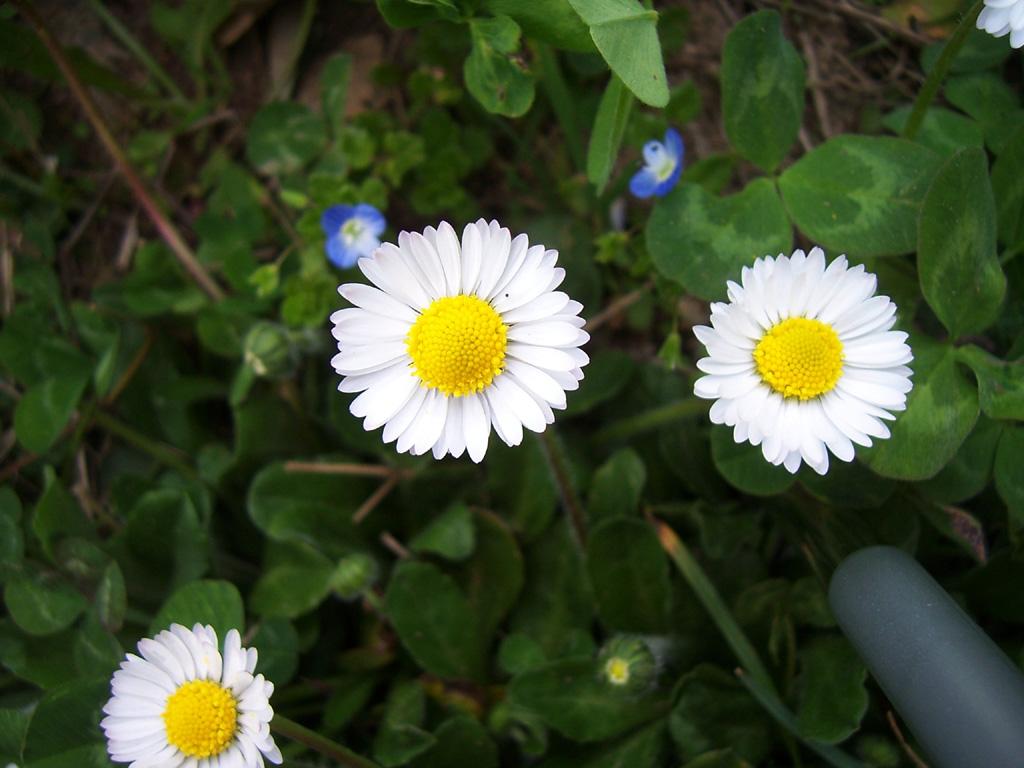 Fleurs : Pâquerettes