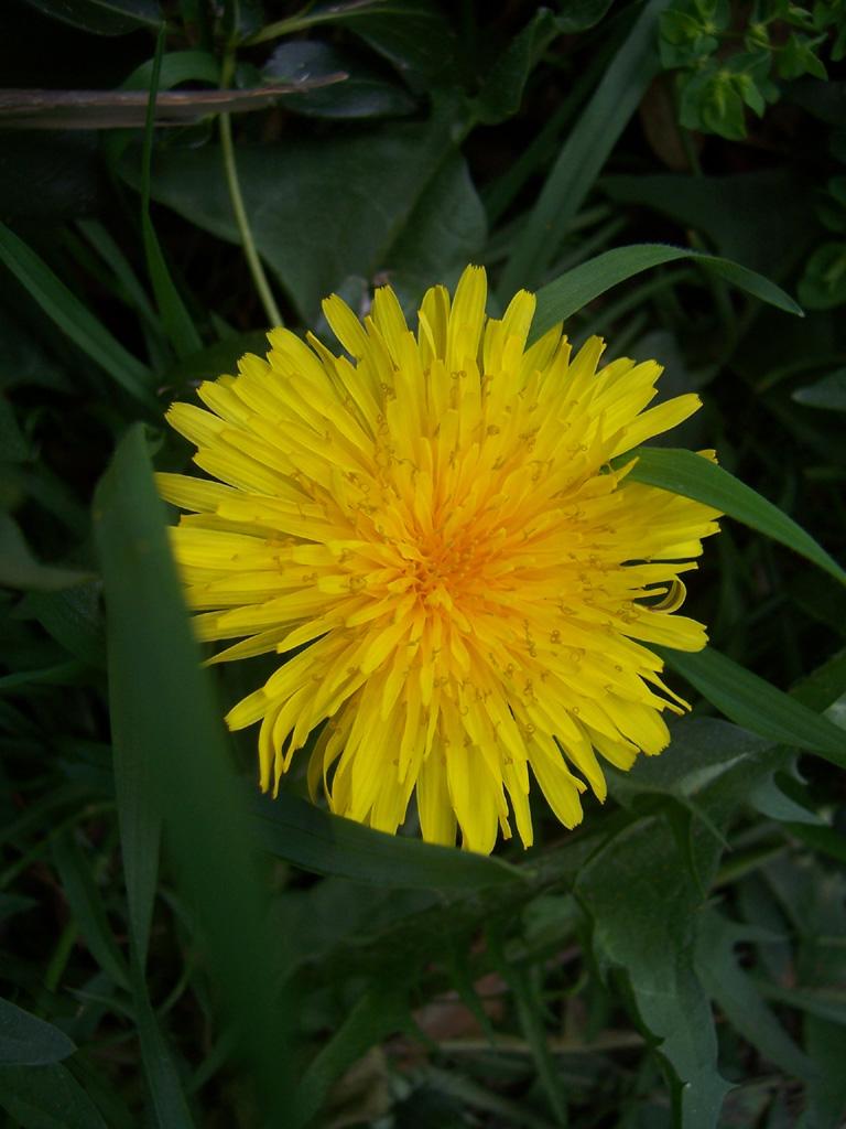 Fleurs : Pissenlit ou Dent-de-lion
