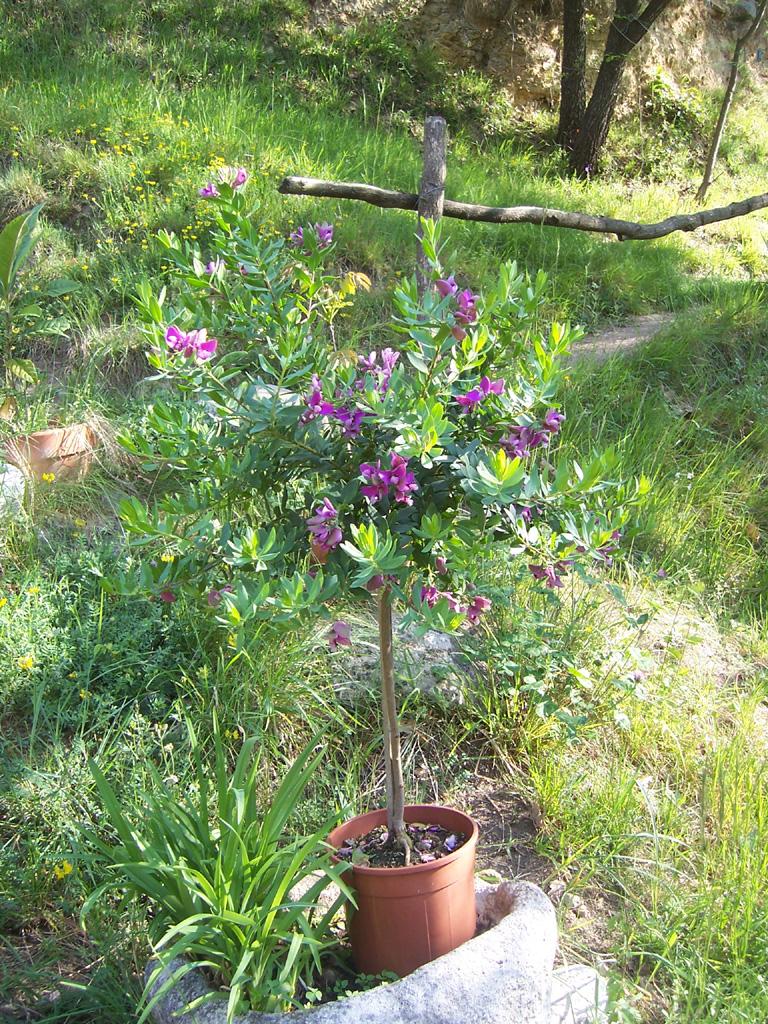 Fleurs : Polygala myrtifolia plante cultivée en pot