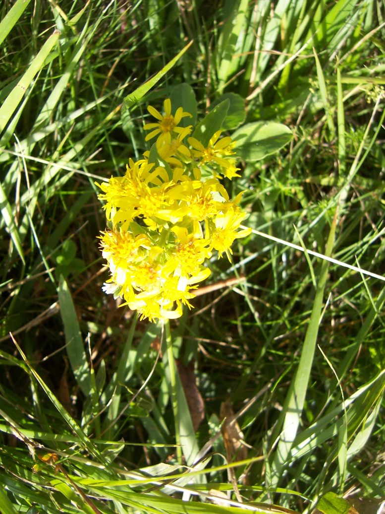 Photo de fleurs : verge d'or - solidago virgaurea