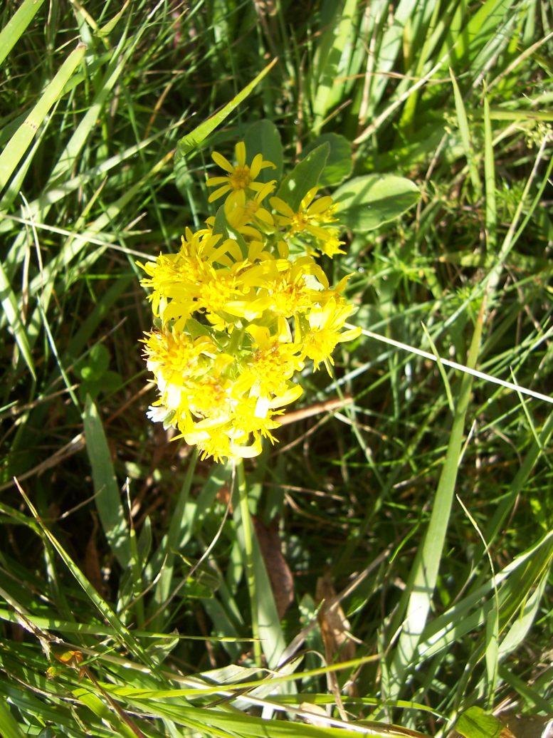 Photo de fleurs : verge d'or - solidago virgaurea