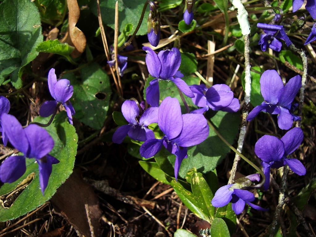 Photo de violettes